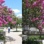 Crate Myrtles in 3D